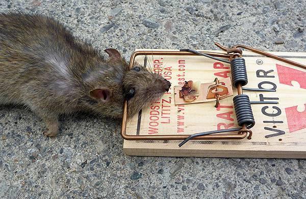 Отравление человека крысиным ядом