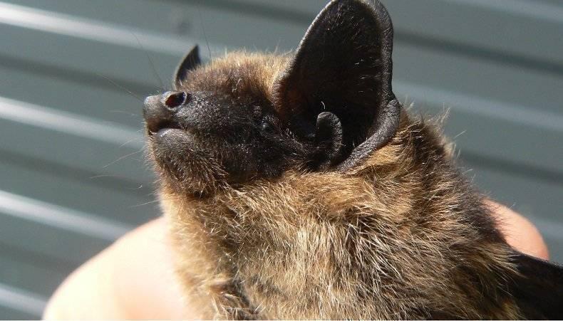 Летучие мыши под крышей – удачное ли соседство?