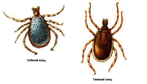 Клещи: описание, виды, как выглядят, особенности и образ жизни