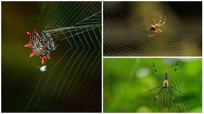 Какие узлы использует паук, когда плетёт паутину? как паук плетет паутину, откуда берется паутинный шелк? а правда ли что пауки плетут паутину.