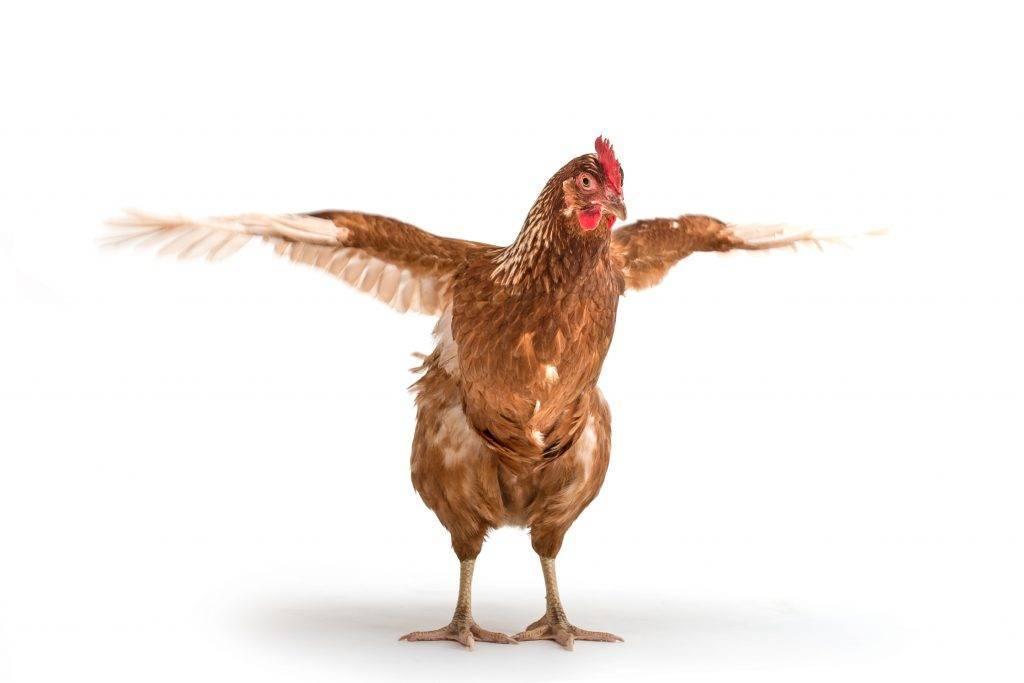 Как избавиться от куриных блох: самые проверенные способы