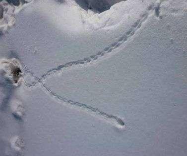 Исследование следов животных на снегу