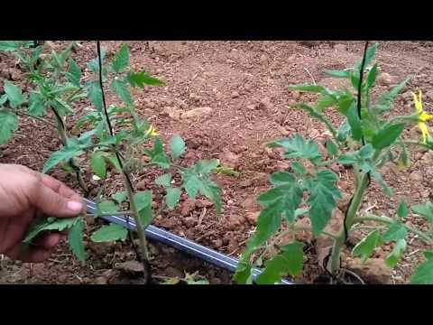 Болезни и вредители томатов в теплице: как распознать и бороться?