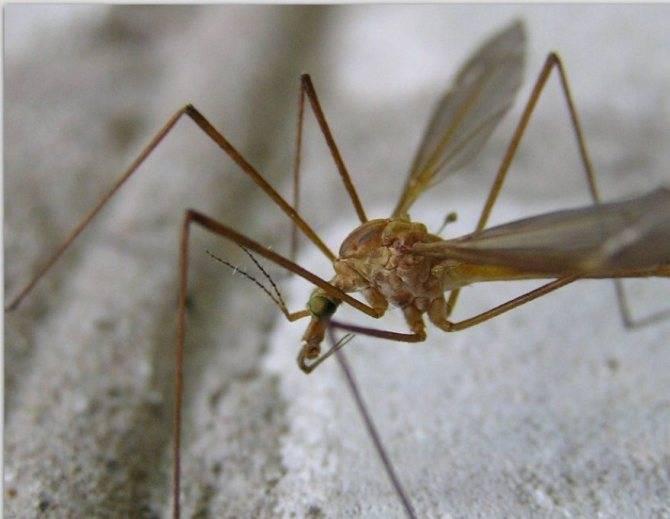 Комар-долгоножка и малярийный комар