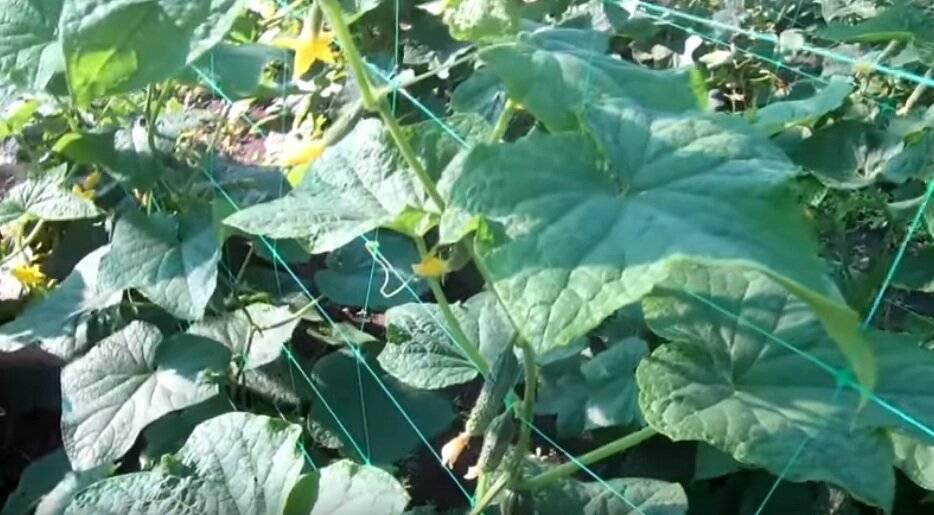 Как избавиться от тли в саду
