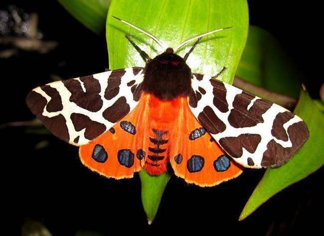 Бабочка бурая медведица чем питается. описание и виды бабочки медведицы