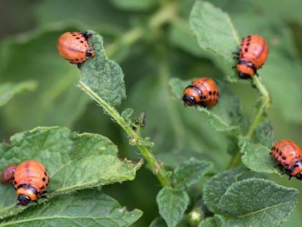 Какие насекомые поедают клубни и листья картошки и меры борьбы с ними