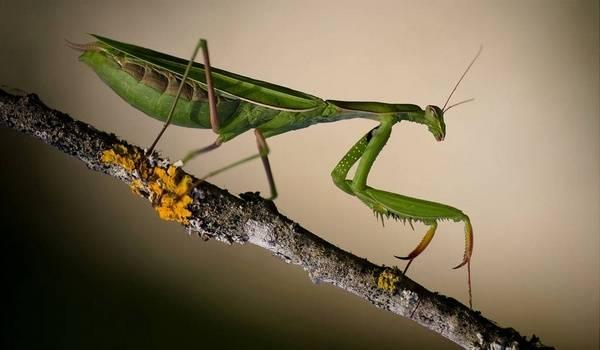 Богомол обыкновенный – живая ловушка для насекомых. богомолы богомол обыкновенный самцы и самки