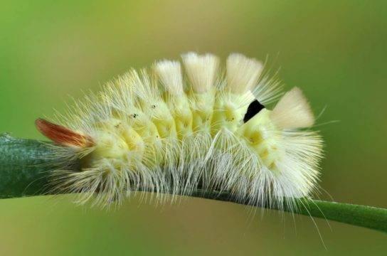 Мохнатые гусеницы (пушистые)