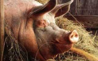 Вши у свиней: диагноз, лечение, профилактика | Ветеринарная служба