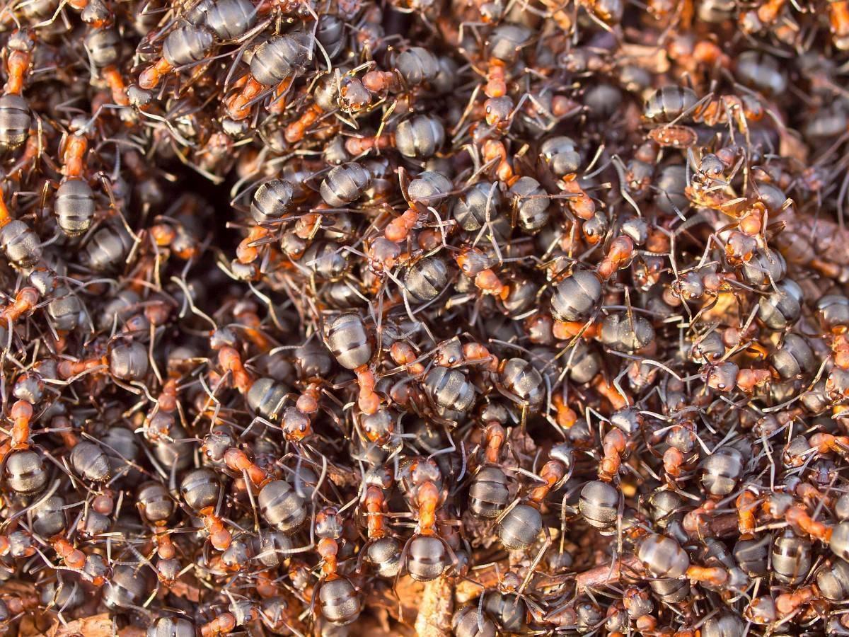Что зимой делают муравьи. как и где зимуют муравьи?