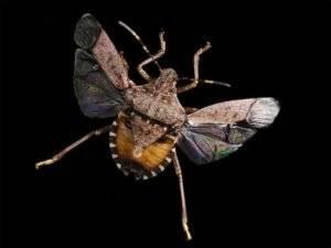 Летающее ли насекомое клоп?