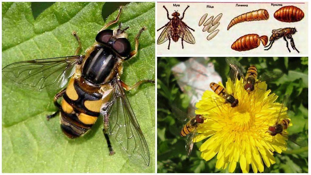 Муха журчалка – яркий пример мимикрии. журчалка – самая необыкновенная муха могут мухи похожие на ос