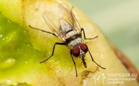 Как избавиться от мух в доме: деревянном и кирпичном, квартире