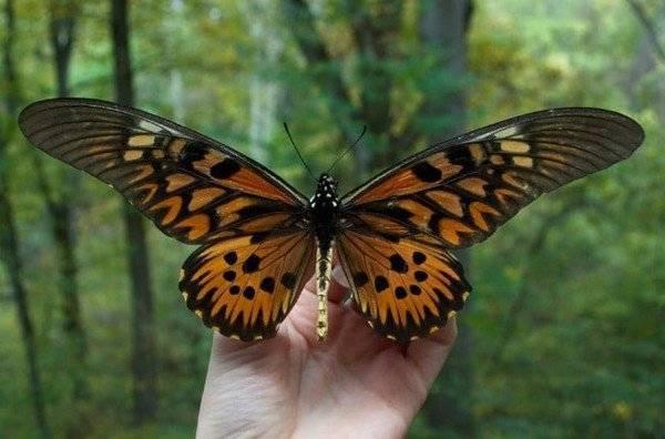 Самые красивые бабочки в мире. секреты крупных насекомых: бабочка парусник крупная бабочка с хвостиками на крыльях