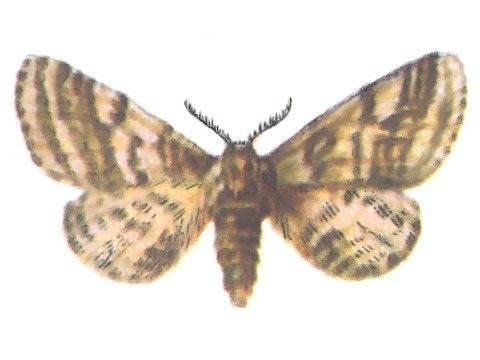 Березовая пяденица – как бороться с нашествием гусениц. бабочка березовая пяденица, красивый и опасный вредитель