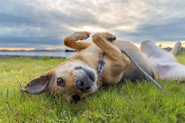Подкожный клещ у собак