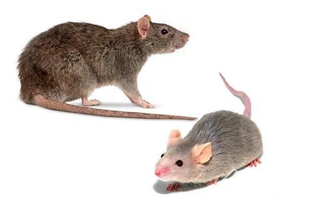 Как избавиться от запаха мышей на одежде. как пахнут мыши и как этот запах удалить. средства, чем отмыть помещение