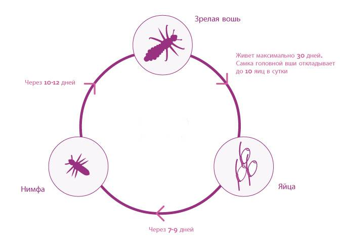 Инкубационный период при заражении вшами
