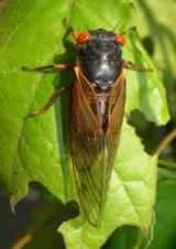 Немка европейская — бархатный муравей с острым жалом