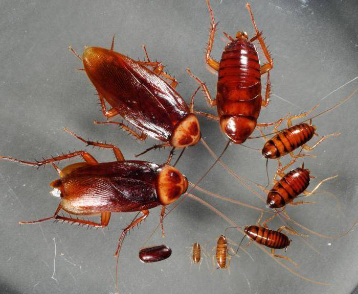 Как выглядят и размножаются рыжие тараканы