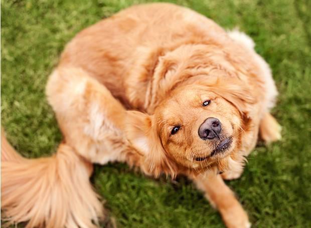 Как же их прогнать? блохи у собаки: как вывести покупными и народными средствами, обработка для профилактики