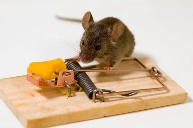 Чего боятся мыши: лучшие народные средства от надоедливых грызунов