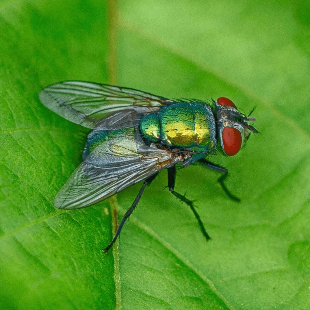 Мясная муха: описание, личинки, срок жизни