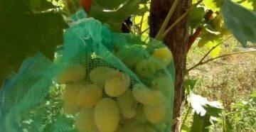Как не дать осам уничтожить урожай и спасти грозди винограда