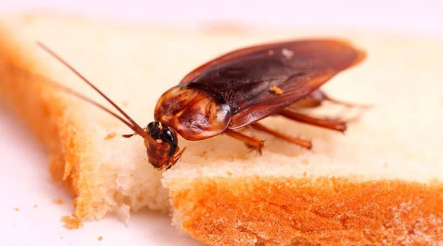 Как навсегда избавиться от рыжих тараканов?