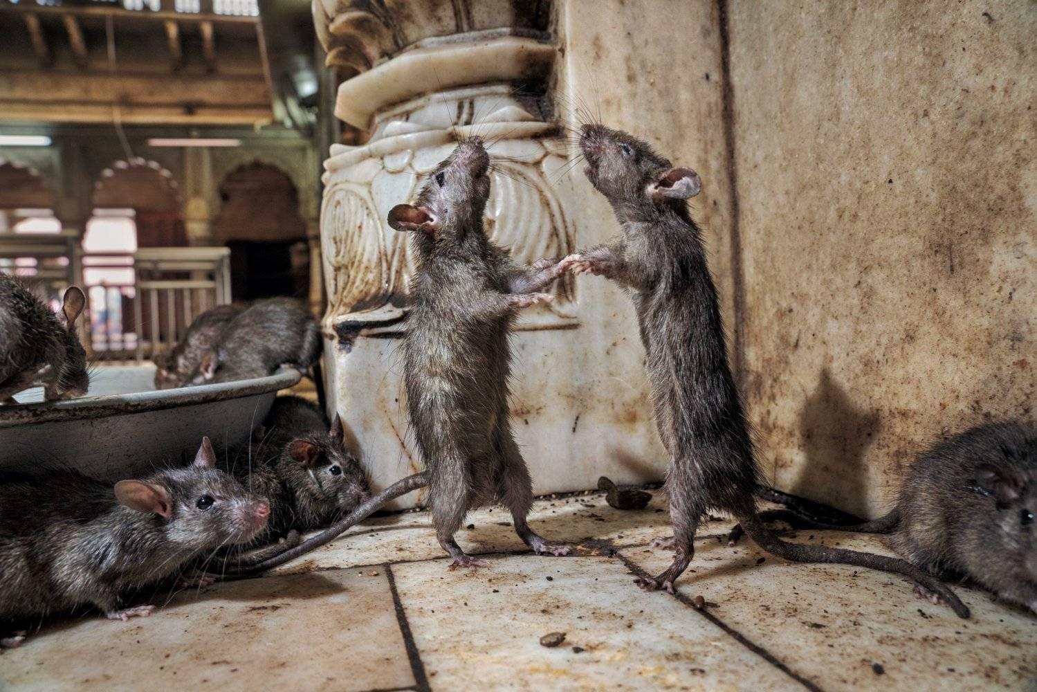 5 способов, как навсегда избавиться от крыс в сарае