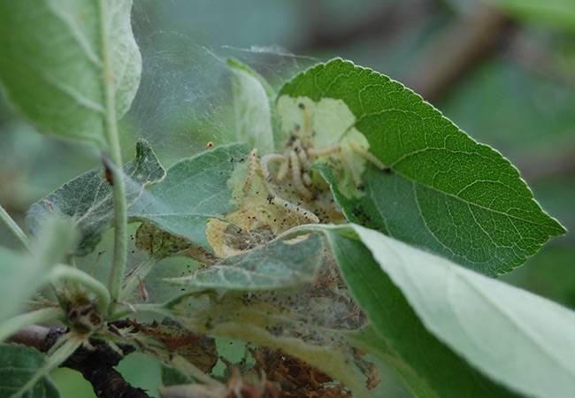 Чем обрабатывать яблони ранней весной от вредителей и болезней