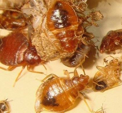 Постельный клоп – всё о насекомом: описание, фото, методы выведения