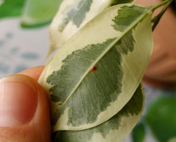 Как избавиться отщитовки на комнатных растениях?
