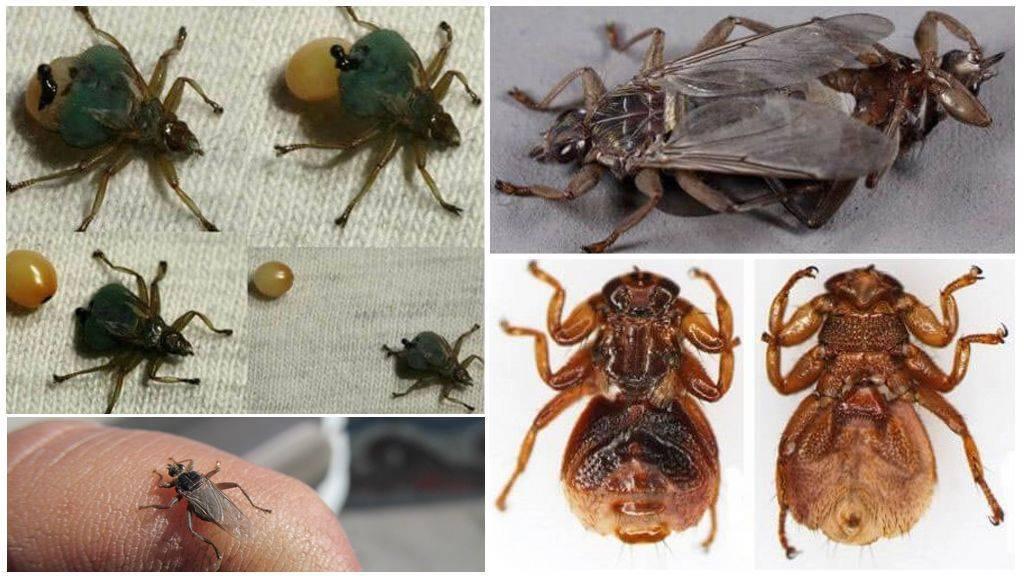 Насколько велика опасность лосиной мухи для человека? чем опасна для человека лосиная муха (оленья кровососка) и как с ней бороться насекомое похожее на клеща с крыльями