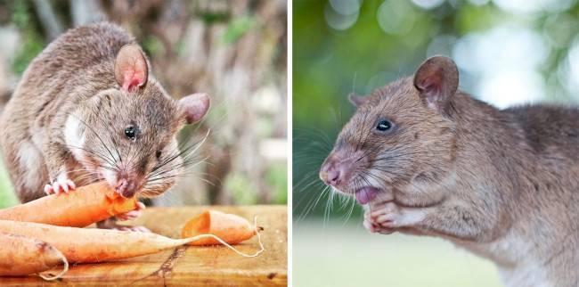 Гигантская гамбийская крыса, или крыса гамби