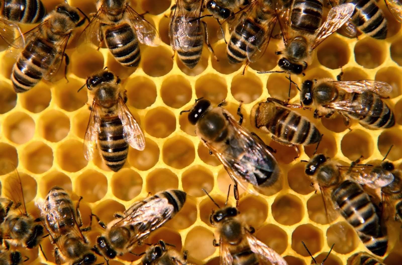 Медоносы для пчел