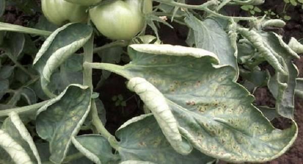 Паутинный клещ на томатах: как бороться, чем опрыскать, как избавиться