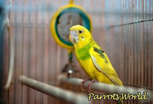 Клещи у попугаев, диагностика и лечение
