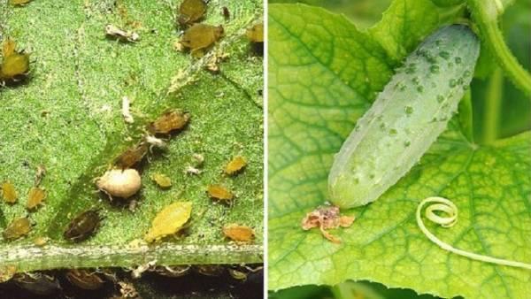 Как спасти урожай огурцов от ростковой мухи
