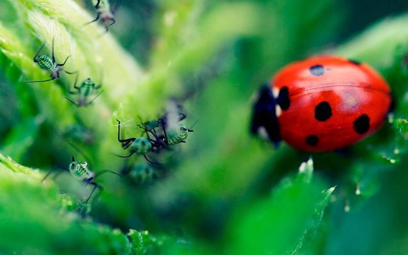 Средства от морковной мухи