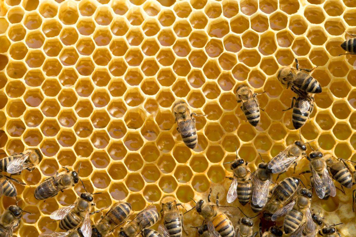 Пчелы впервые попали в список вымирающих видов