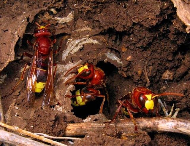 Как уничтожить осиное гнездо. осы покидают свои дома осенью, где же они зимуют? когда осы просыпаются после зимы