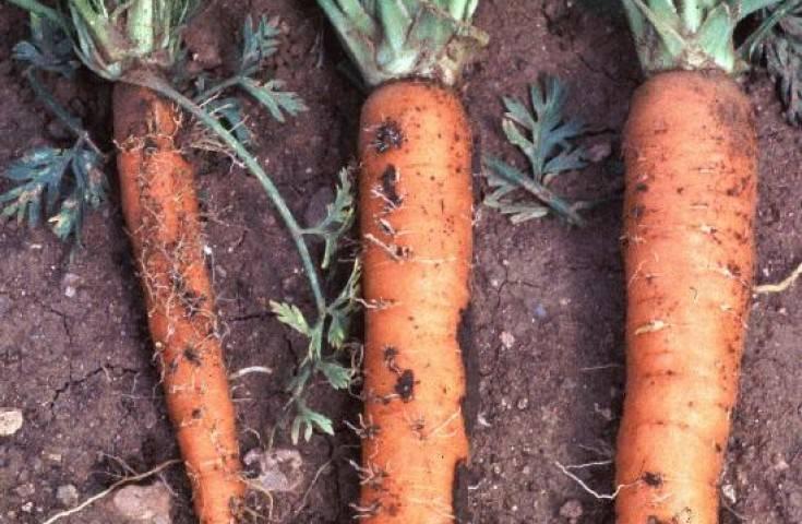 Болезни и вредители моркови: как бороться?