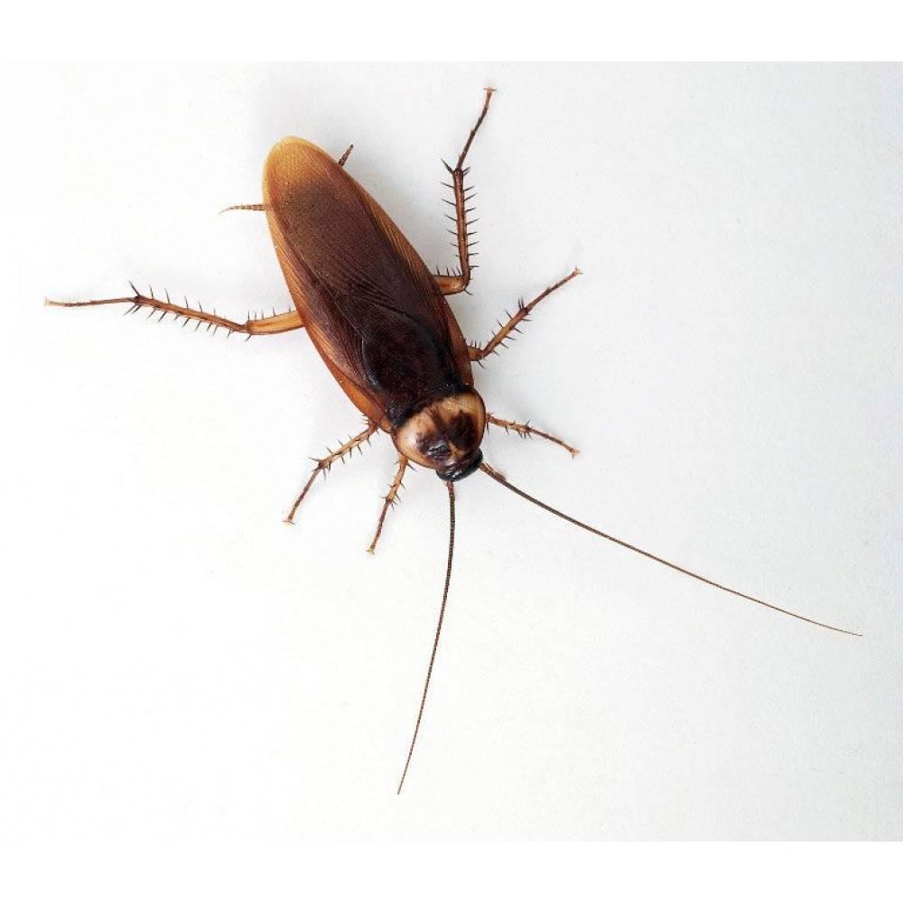 Особенности американского таракана
