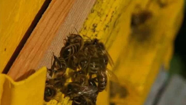Почему вымирают пчелы и чем это грозит людям?