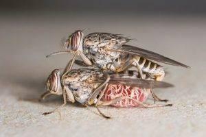 Где живет муха цеце и чем опасен ее укус