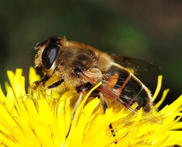 Пчелиная личинка: особенности, развитие и уход