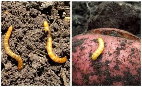 Самые эффективные средства для защиты и обработки картофельного поля от проволочника
