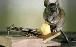 Как избавиться от мышиного запаха в частном доме и квартире